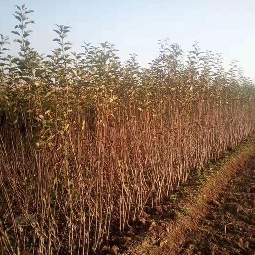 山西省運城市絳縣煙富蘋果苗 矮化蘋果苗 各品種的蘋果苗