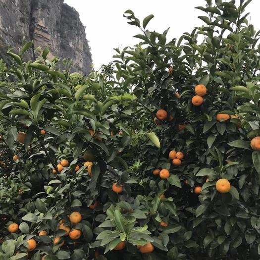 廣西壯族自治區來賓市象州縣沙糖桔 廣西象州正宗砂糖橘,果園直供
