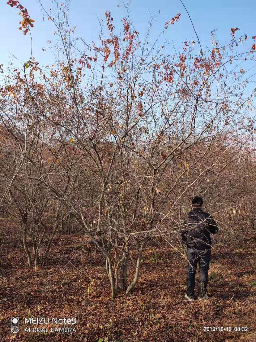 茶条槭 丛生茶条槭 规格齐全 价格合理
