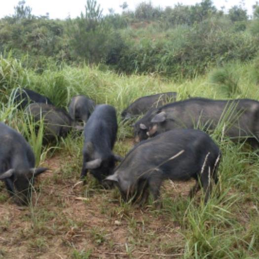 四川省阿坝藏族羌族自治州茂县藏香猪 80斤以上