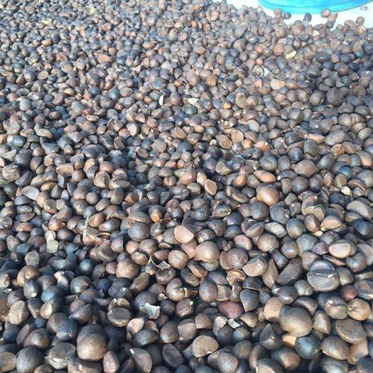 湖北省黄冈市红安县 油茶籽来了……