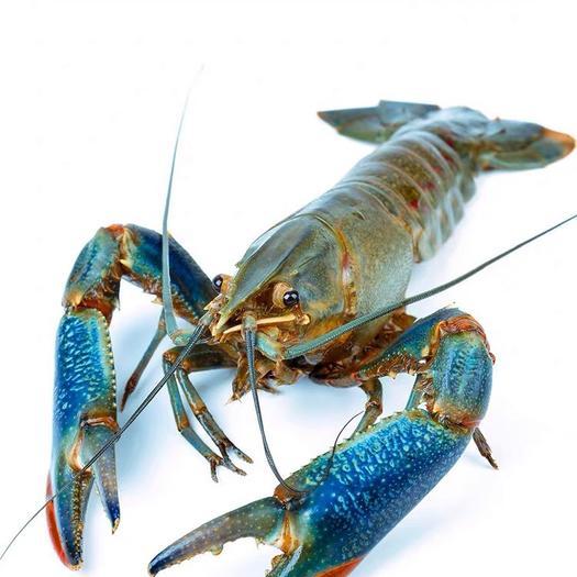 海南省海口市秀英區澳洲龍蝦 國產 0.4斤/只以下 人工飼養