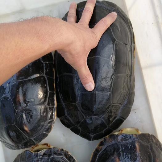 廣東省江門市恩平市綠線草龜 十幾年外塘花草龜,夠老夠好