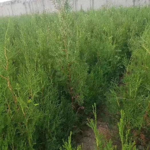 河南省洛阳市吉利区侧柏苗 1-1.5米侧柏,5万棵