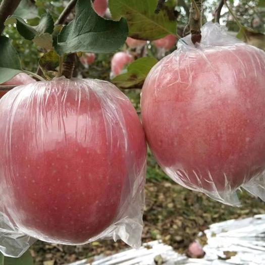 陕西省咸阳市礼泉县红富士苹果 特大老树当季自产鲜果24h发货一件代发净重10斤包邮包售后