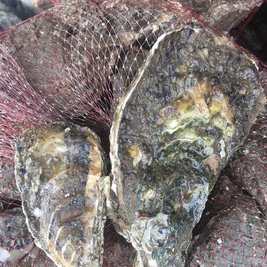 野生生蚝,生蚝原产地批发,中号一斤6--8个,大中小规格