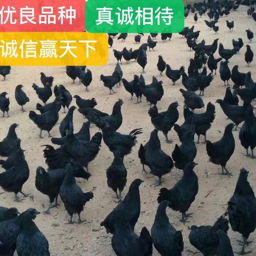 广西壮族自治区南宁市西乡塘区绿壳蛋鸡苗 五黑绿壳蛋鸡