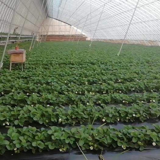 辽宁省丹东市东港市 草莓是丹东九九草莓,假一陪万,不含农药,自家大棚的