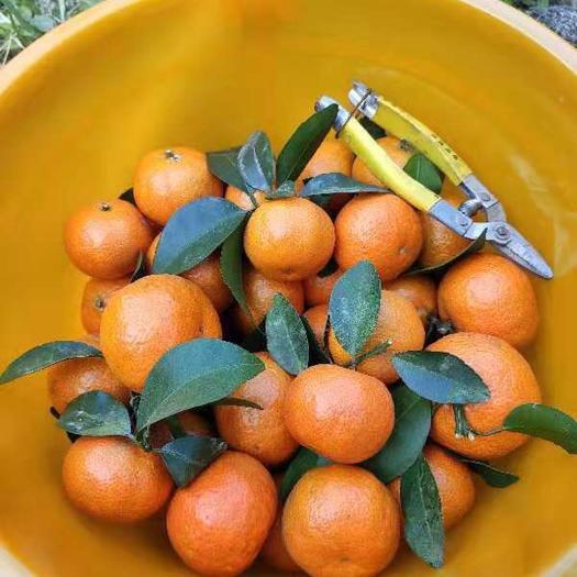 广东省广州市增城区沙糖桔 自家果园砂糖橘,都是中大果,有意向可以询价
