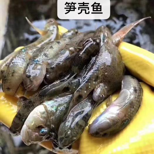 广东省潮州市饶平县 野生笋壳鱼,一斤2盒装,35元/斤
