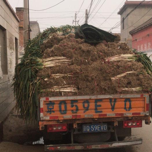 河南省安阳市内黄县长白大葱 毛葱 30~50cm