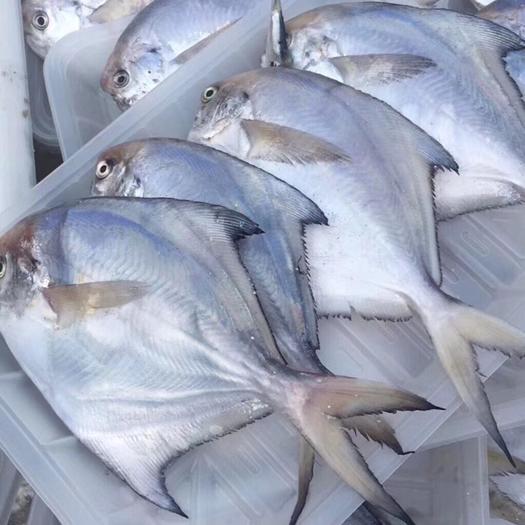 山东省烟台市福山区 野生银鲳鱼!一袋一斤!3-5条一斤