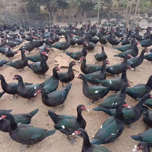 福建省厦门市集美区 160天以上的老公老母,骨折价。100天的嫩母鸭4000头