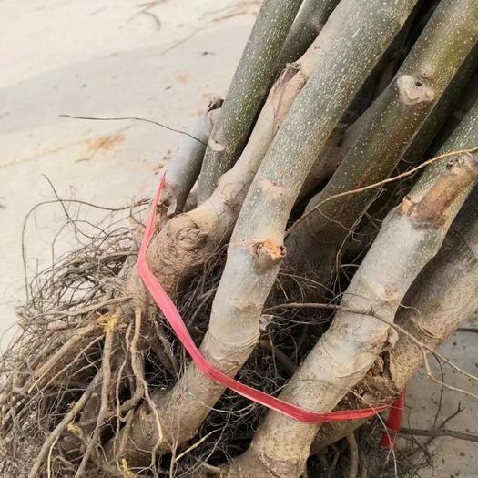 河北省石家庄市赞皇县蓝丰蓝莓种子 出售嫁接薄皮核桃树苗