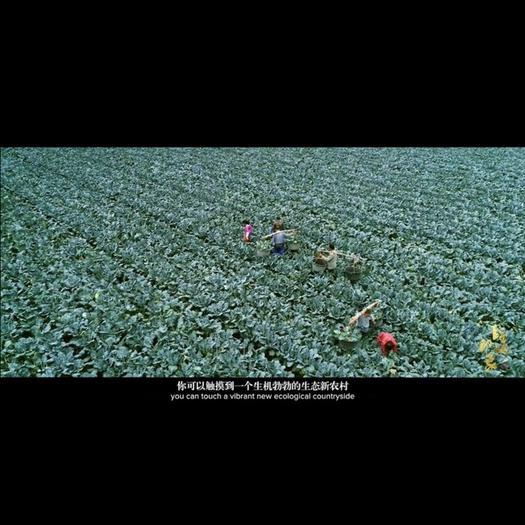 浙江省台州市临海市耐寒优秀西兰花 0.8~1.2斤 10cm以下