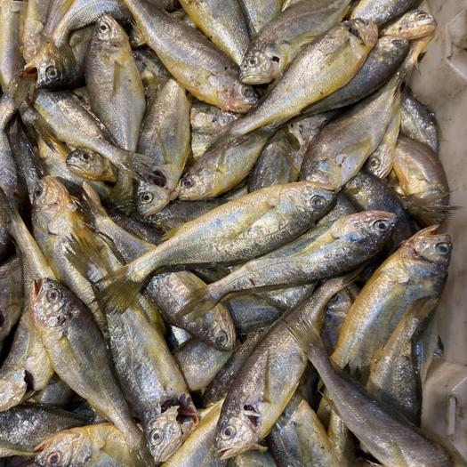 江苏省连云港市赣榆区 野生小黄鱼,黄花鱼,现捞现发,自己家的小渔船打捞的,新鲜发货