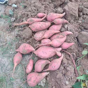 黄心红薯 3两~6两 红皮