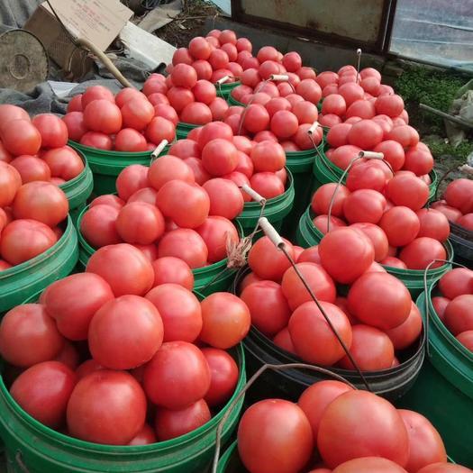 山東省淄博市臨淄區硬粉番茄 弧三大棚果剛上市的