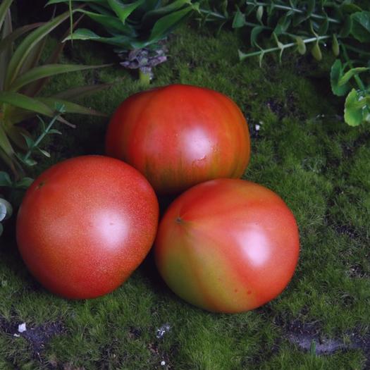 山东省泰安市泰山区 水果西红柿