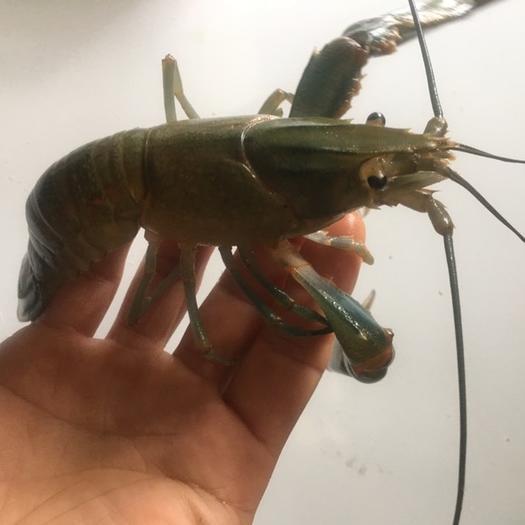 广西壮族自治区南宁市武鸣区 澳洲淡水小龙虾