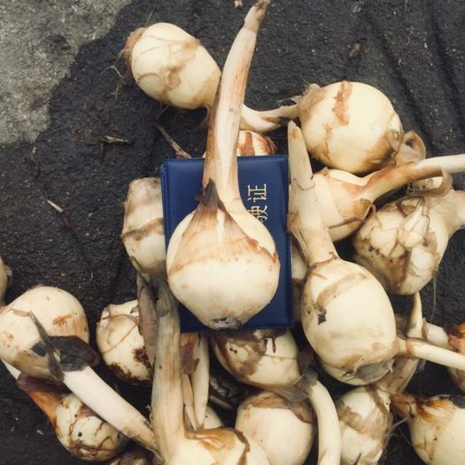 江苏省盐城市盐都区 白肉慈菇,皮白、个头大?;踉闯渥?。