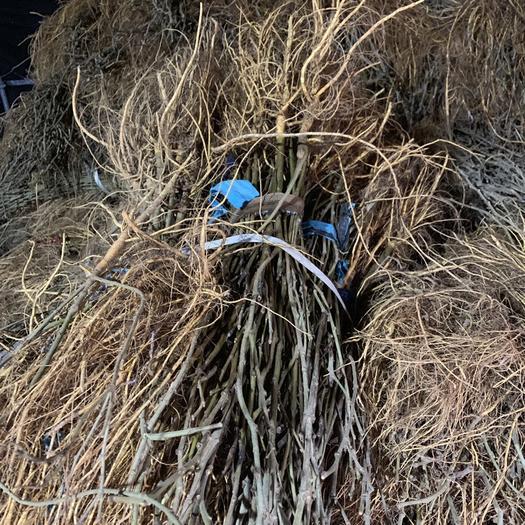 浙江省嘉興市海寧市 浙江海寧蛋白桑苗1株生長快產量高牛羊馬飼料桑
