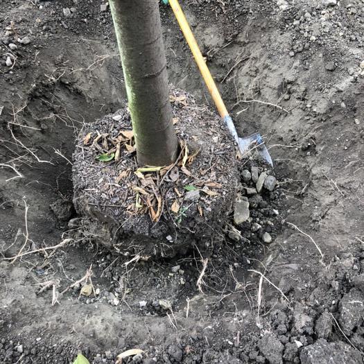 云南省昆明市东川区 大量朴树出售,5公分到16公分,感兴趣的朋友可以现场看货!