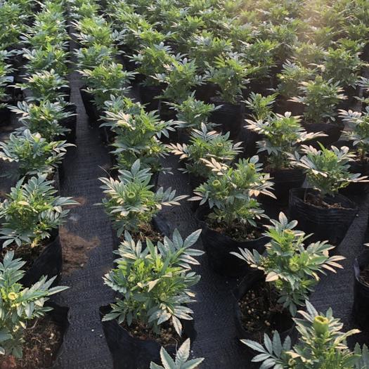广东省佛山市南海区醉蝶花 大量时花袋苗 泥碳土 质量保证 现有的 年货 都有 欢迎预定