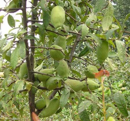 [木瓜树批发]木瓜树价格1元/棵