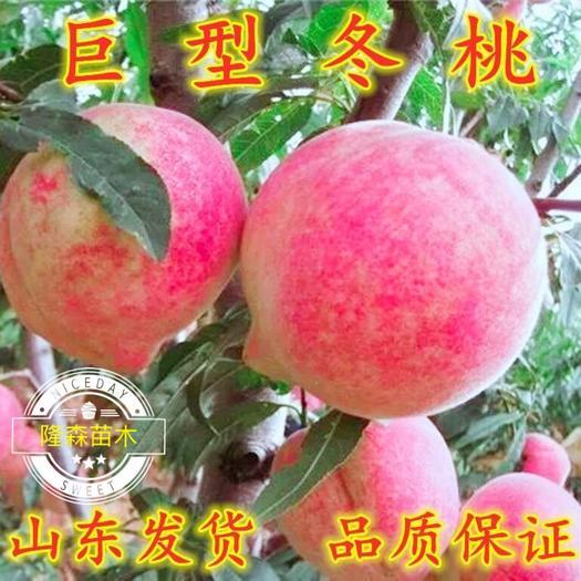 山東省臨沂市平邑縣 巨型冬桃苗,平均單果重400 克,最大1250 克。