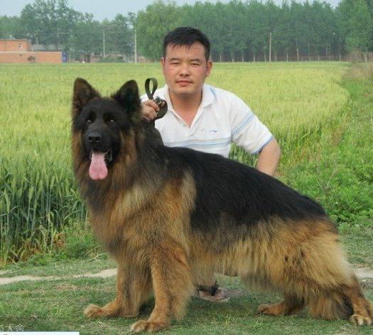 山东省枣庄市滕州市 长毛德牧 红狮犬 大型犬 德国牧羊犬 看家护院最好的狗
