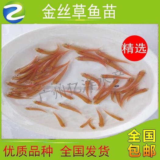 廣東省廣州市花都區金草魚苗 特價批發優質金草魚  基地直銷 品質保證