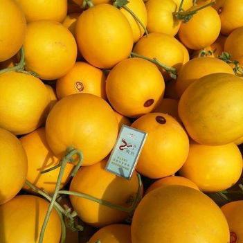 瑞红甜瓜 一手货源 产地直发 品质保证