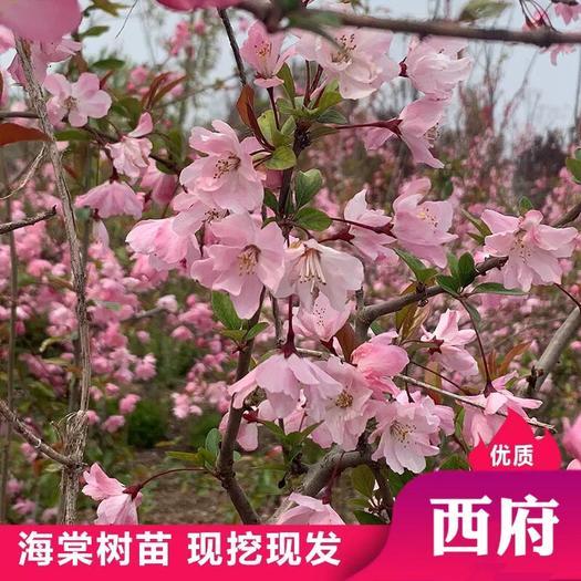 山东省临沂市平邑县 西府海棠  专业庭院绿化  包成活  当年开花