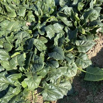 新鲜菠菜4毛钱1斤