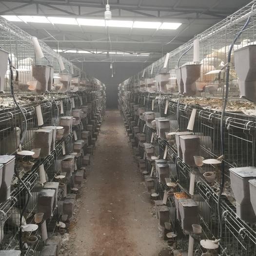河北省石家庄市无极县 出售新鲜鸽子蛋种蛋常年供应
