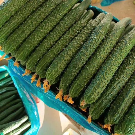 山東省臨沂市蘭陵縣 精品亮條黃瓜,大量上市,產地直銷,質量保證