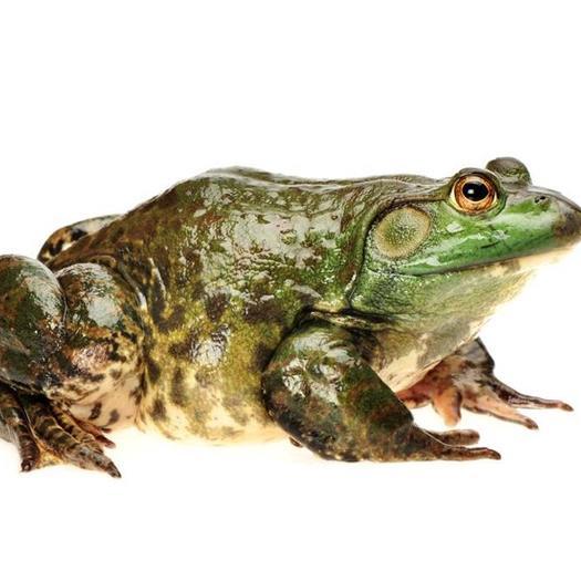 浙江省杭州市余杭區 產地直供,量大送貨上送門,廣東蛙和杭州本地黃皮牛蛙