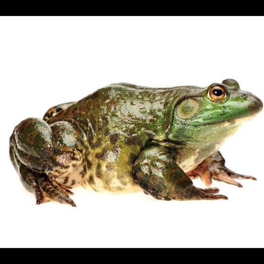 浙江省杭州市蕭山區 養殖廠直供牛蛙,規格齊全,廣東蛙和杭州本地蛙全國包郵本地包送