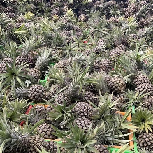 云南省红河哈尼族彝族自治州蒙自市 热带菠萝十斤装28.8包邮物美价廉