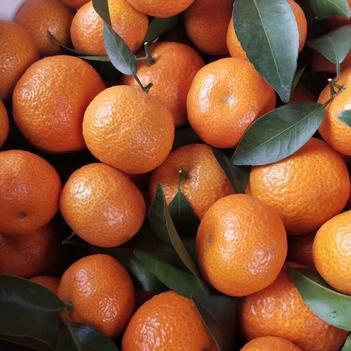 沙糖桔 砂糖橘果厂直销广西砂糖橘个大皮光未甜小橘子果园直供原生态种植