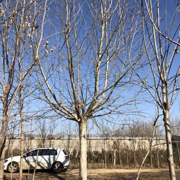 30-35公分大骨架带帽法桐的价格 法国梧桐苗圃基地