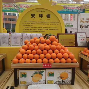 紐荷爾臍橙 65-95mm