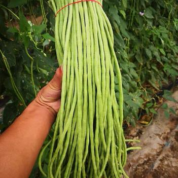 特长绿先锋豆角种子四季豆高产