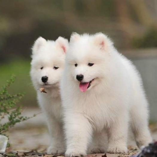 山东省枣庄市滕州市 纯种萨摩,微笑天使,狗狗,幼犬,伴侣犬,
