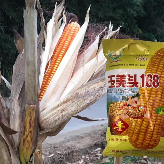 廣東省清遠市英德市 玉美頭168玉米種子雜交飼料玉米高產抗旱抗倒雞吃玉米大田春