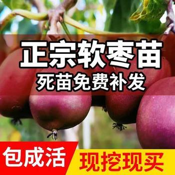 軟棗獼猴桃苗 紅色九月 龍城二號 現挖現發 包郵