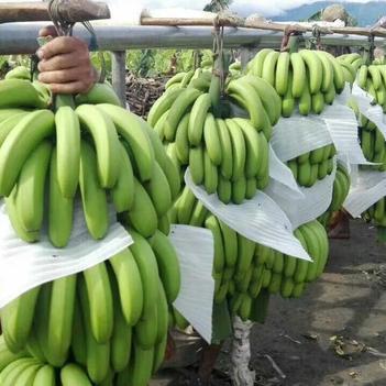 巴西香蕉 七成熟