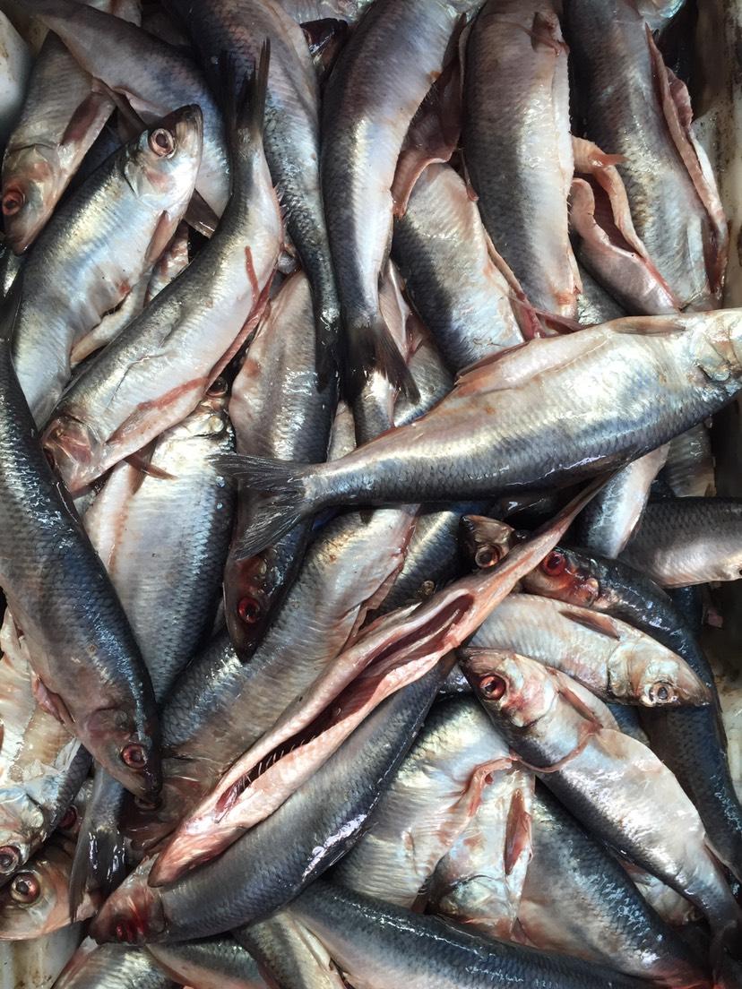 [深海青鱼批发] 深海青鱼!价格2.6元/斤