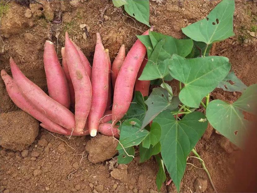 [富硒红薯批发] 富硒地种出来的红薯、粉、糯、甜价格1.5元/斤